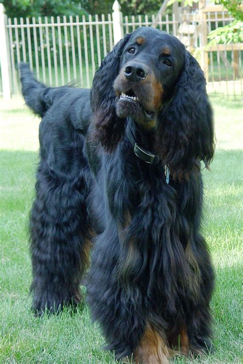 gordon settee 26 best images about gordon setter on pinterest limited