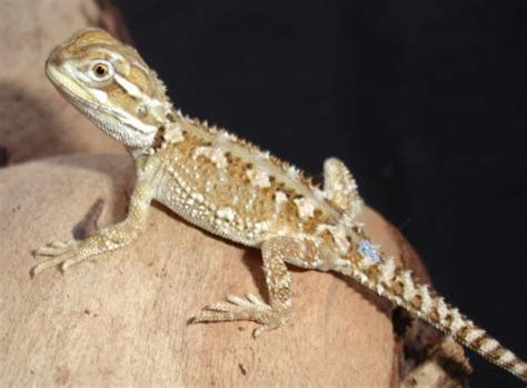 Heat L For Bearded Dragons by Bearded Dragons