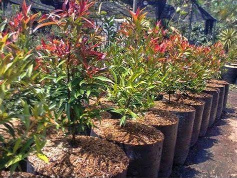 tanaman hias pucuk merah  pot youtube