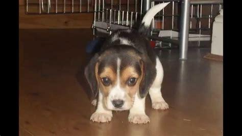 newborn beagle puppies newborn beagle puppies gallery