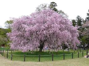panoramio photo of kyoto weeping cherry tree