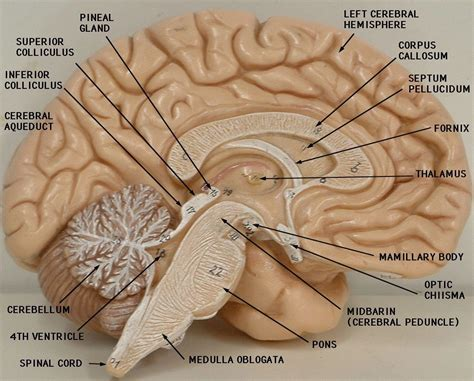 brain midsagittal section labeled sheep brain midsagittal section of the