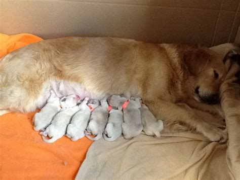 puppies for sale golden retriever golden retriever puppies for sale leiston suffolk pets4homes