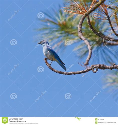 tree branch end perched mountain bluebird stock images image 32135304