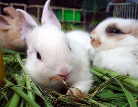 alimentazione conigli nani fieno per il coniglio nano ecco come sceglierlo io e il
