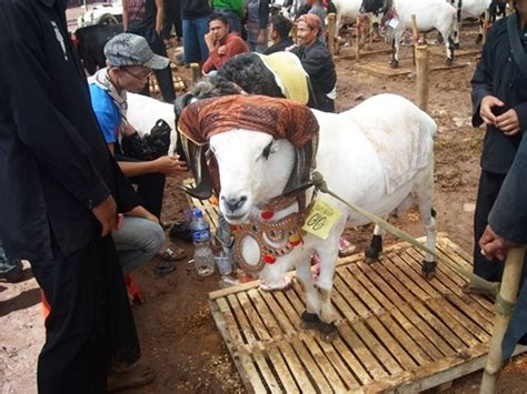 Jual Bibit Lele Daerah Garut seni ketangkasan domba garut sebuah tradisi kompasiana