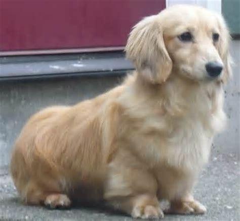 golden retriever mini dachshund mix golden dox animals