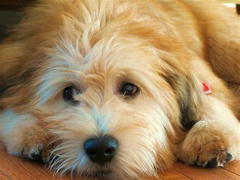 wheaten terrier mix puppies wheaten terrier breeders puppies for sale uk breeds picture
