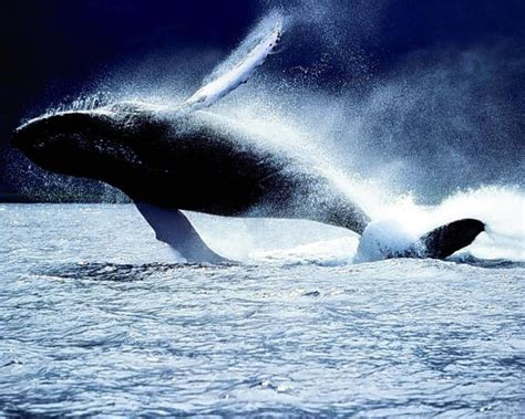 Orca Background Check 30 Beautiful Killer Whale Pictures And Hd Wallpapers