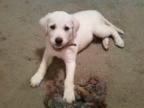 labrador puppies michigan white labrador puppies michigan myideasbedroom