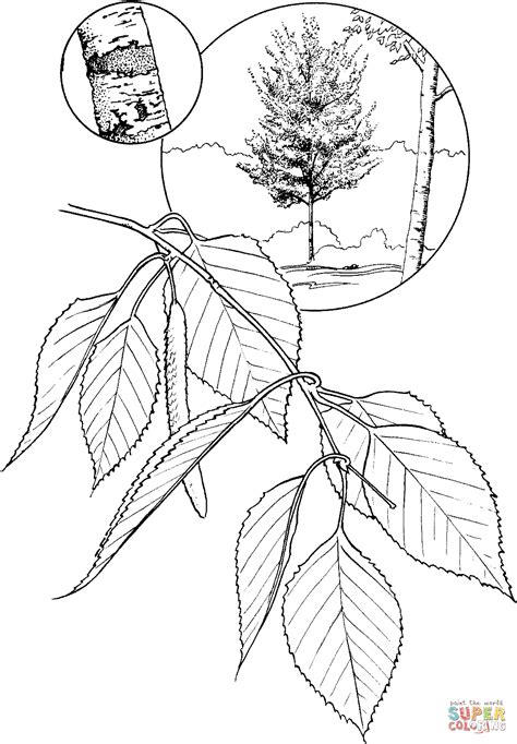 birch leaf coloring page white birch coloring page free printable coloring pages