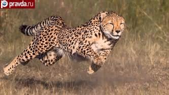 How Fast Can A Jaguar Go Cheetahs Can Be Faster Than