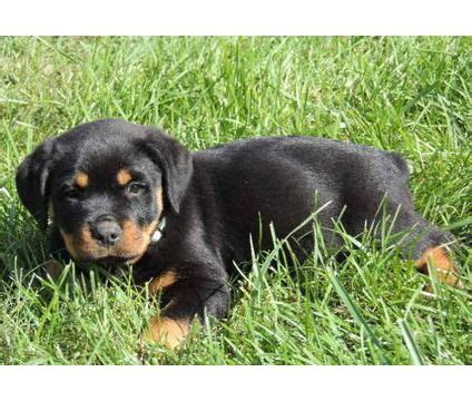 german rottweiler puppies for sale in ny 25 best ideas about rottweiler puppies for sale on german rottweiler