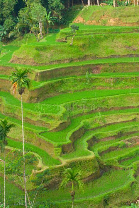terrazzi verdi terrazzi verdi riso immagine stock immagine di