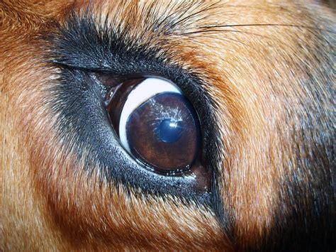 dogs eye is free image eye libreshot free stock photos