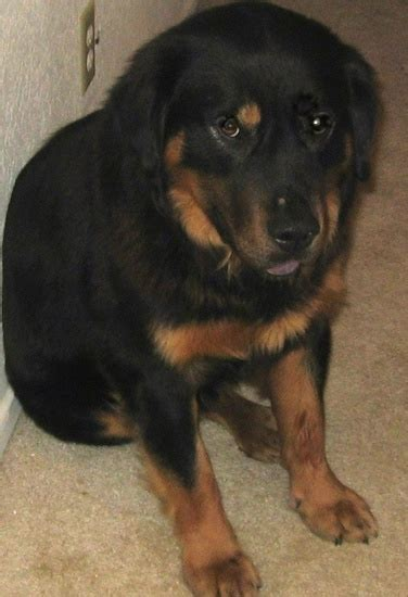 rottweiler chow mix temperament mixed breed pictures with bios 33