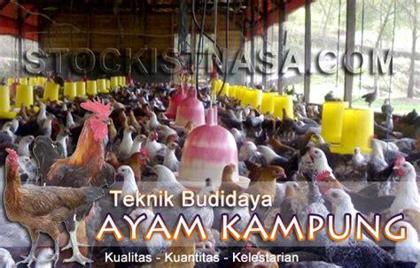 Pasaran Bibit Ayam Potong berternak ayam kung the knownledge