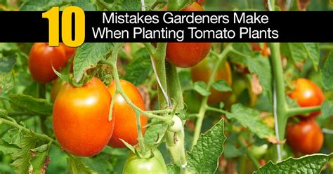 10 rules for success with growing tomatoes