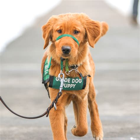 guide puppy raising csu students raise future guide dogs rocky mountain collegian