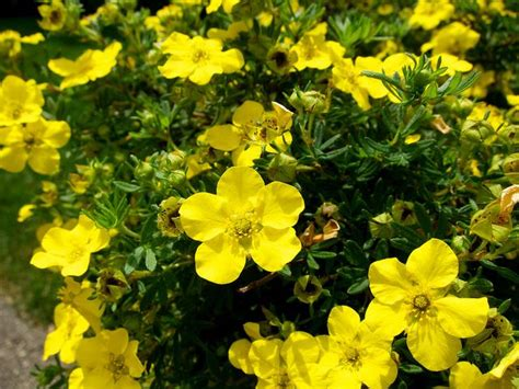 shrubs with yellow flowers in summer 9 best images about potentilla bushes on plant