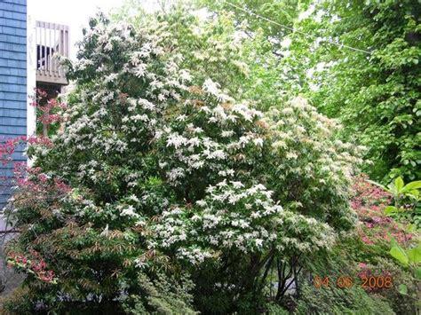 large evergreen flowering shrubs gardens large scale evergreen shrubs pieris