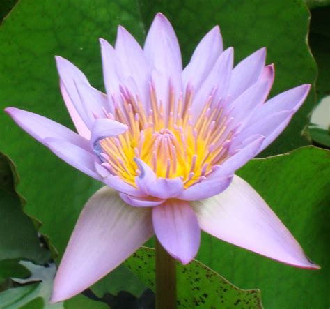 lotus information for the lotus flower hinduism facts facts about hindu religion