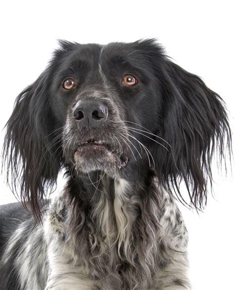 large munsterlander puppies large munsterlander breed information noah s dogs