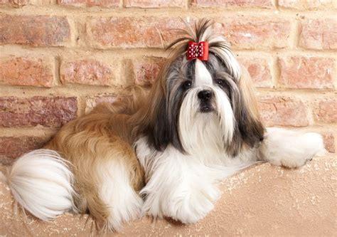 shih tzu moles skin cysts in pekingese or shih tzu dogs cuteness