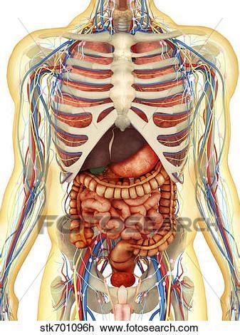 menschlicher körper innere organe clip menschlicher k 246 rper mit innere organe