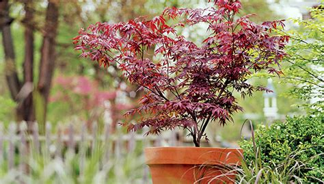 grow a japanese maple in a pot