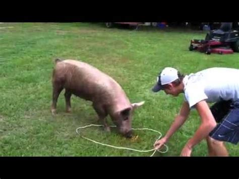 how to a hog catch catching pig videolike