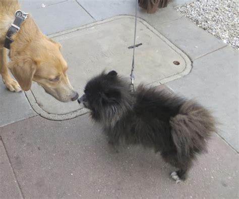 pomeranian x german shepherd of the day oliver the german shepherd greyhound mix with guest pomeranian the