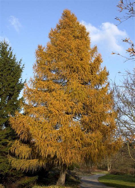 Baum Des Jahres 2012 5368 by Europ 228 Ische L 228 Rche Larix Decidua G 252 Nstig Kaufen