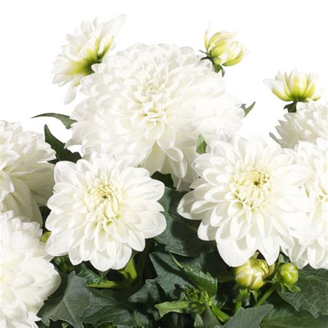 the questionable behavior of dahlia moss a dahlia moss mystery books dalina 174 grande dahlia hybrid proven winners