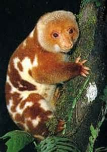 Spotted CusCus Animal