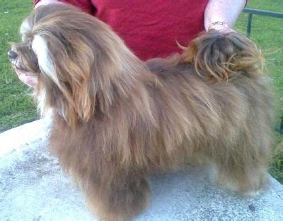 lil coulee havanese aust chion lil coulee canadian cadbury imp can owned by bryan adrienne holzapfel