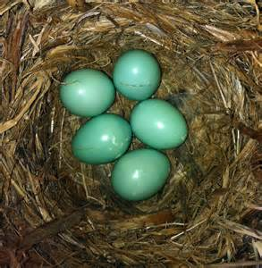 baby eastern bluebirds and bluebird eggs stephen l