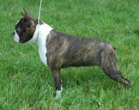 what color is brindle boston of a different color sekc s zoo