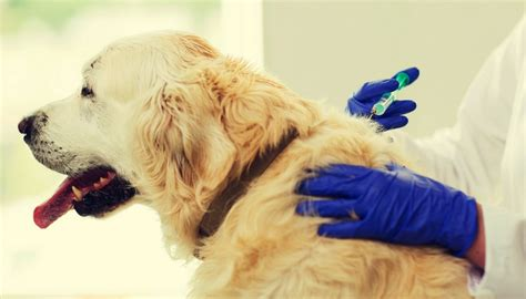 how to give a puppy a how to give a an injection a brief guide top tips