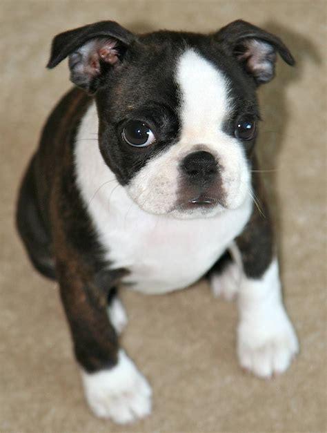 miniature boston terrier puppies miniature boston terrier puppies picture breeders guide