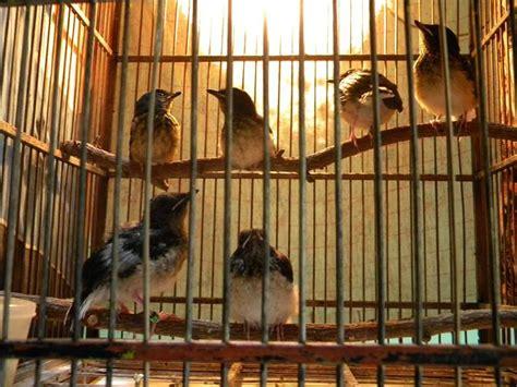 Ternak Murai Batu Medan Asli burung parkit related keywords burung parkit