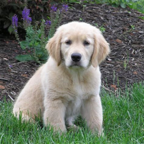 how much does a golden retriever puppy cost golden retriever puppy 11 comments