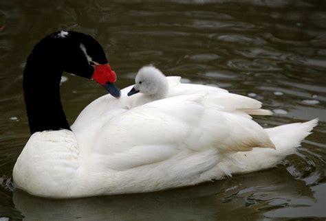 black swan and babies black necked swan swans pinterest