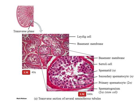 transverse c section transverse c section 28 images transverse section of