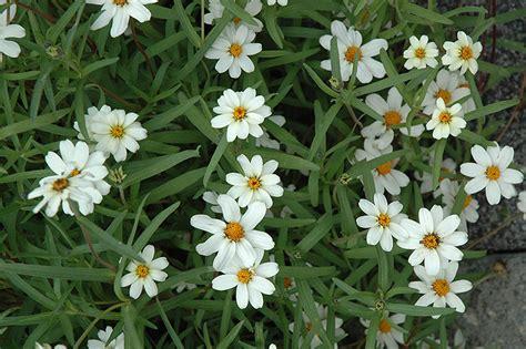 star white zinnia zinnia angustifolia star white