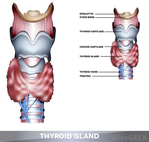 thyroid gland diagram topic thyroid archives human anatomy educations
