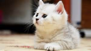 Cute White Cats Hd Wallpapers Amp Beautiful Pictures Hd