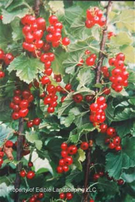 fruit trees for sale washington state cherry currant edible landscaping