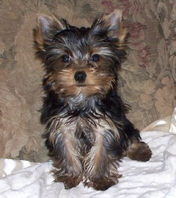 yorkies for sale in ontario adorable yorkies for sale adoption from orillia ontario simcoe adpost