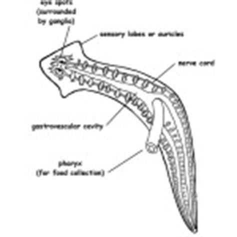 planaria diagram animals inverterbrates coloring nature